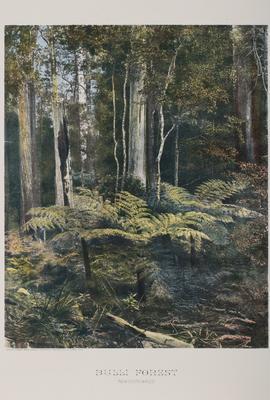 Bulli Forest