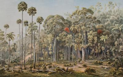 Cabbage tree forest, American Creek