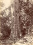 Big Tree, Bulli